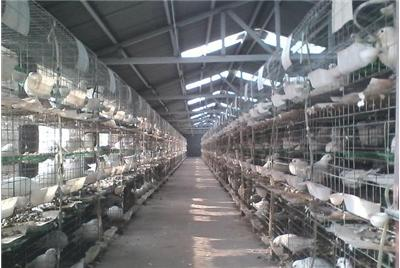 山东肉鸽养殖场