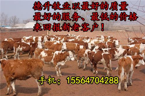江苏南通养牛场 肉牛养殖基地 鲁西黄牛 西门塔尔牛肉牛犊