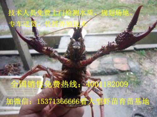 台山哪里的龙虾苗便宜