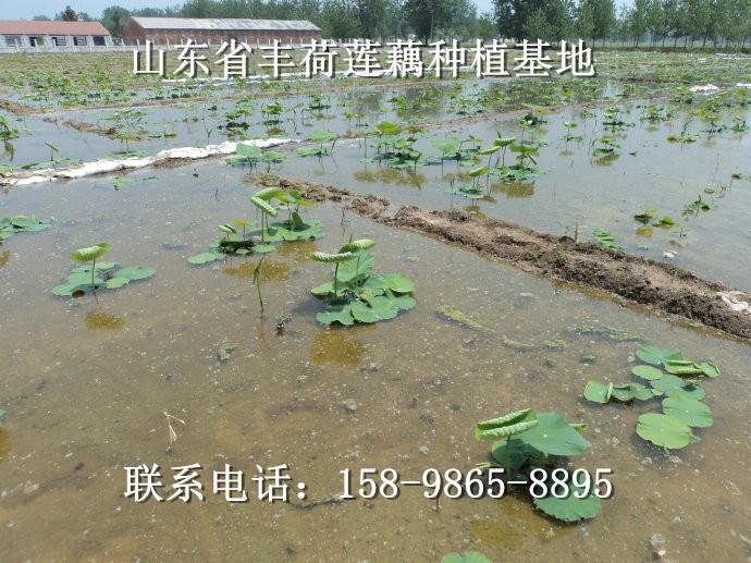 新疆省塔城地区莲藕种植经验