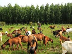 成都金乡农业供应价位合理的麻羊、德阳生态黑山羊