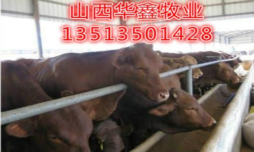 鞍山种公牛什么地方有卖的