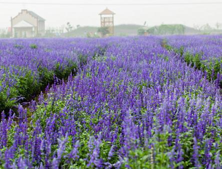 薰衣草当选向明花卉苗木 哪里有薰衣草