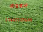 河南本特草种、本特草坪