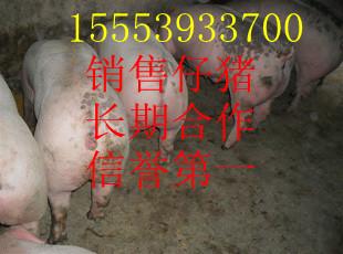 山东小猪批发价格三元猪苗销售中心