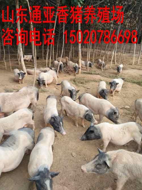 吴忠哪里有卖香猪仔的藏香猪苗出售