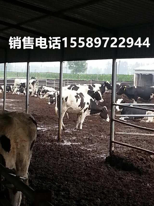 巍山县嘉祥丰牧牧业黑白花奶牛放养信誉保证
