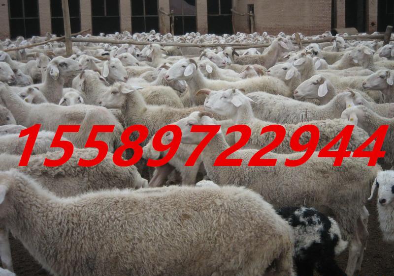 50只小尾寒羊成本在甘肃销量怎么样