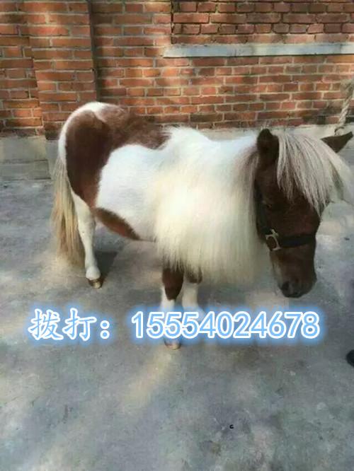 中国矮马养殖基地矮马养殖矮马养殖场矮马多少钱一匹