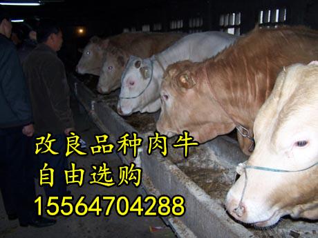 石家庄肉牛养殖场出售肉牛  鲁西黄牛 西门塔尔肉牛犊 免费送货
