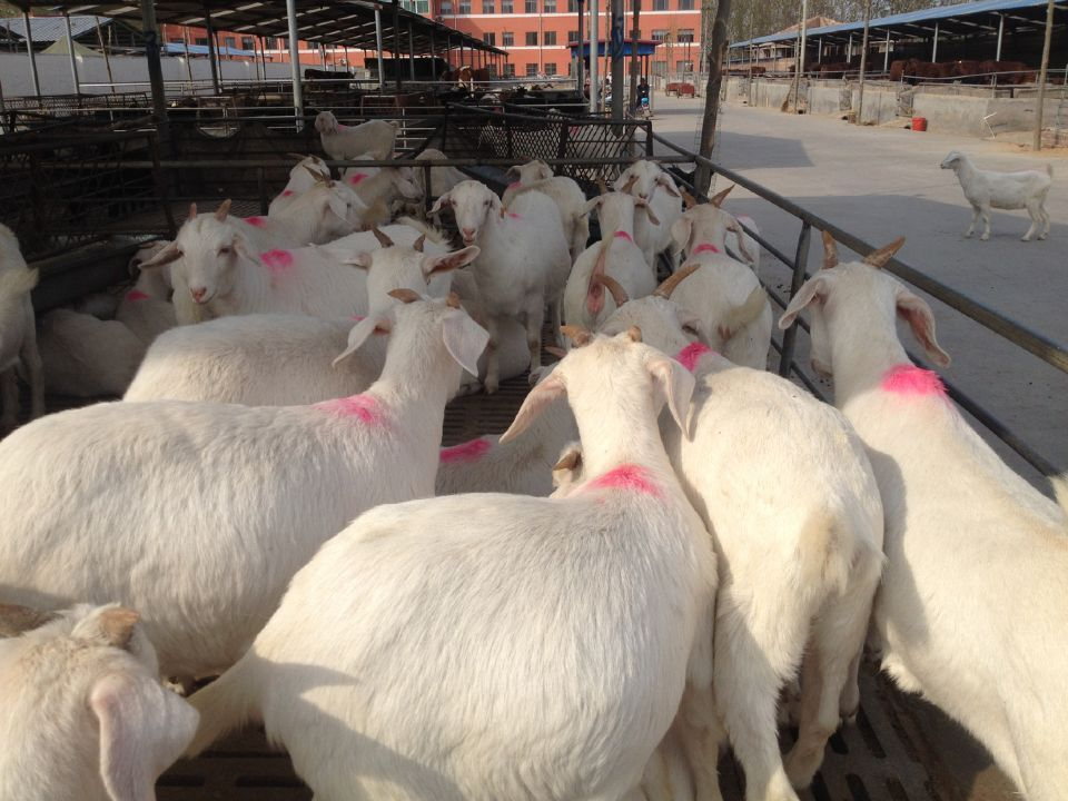 毕节市哪里有卖纯种波尔山羊羊苗的什么地方出售小羊羔