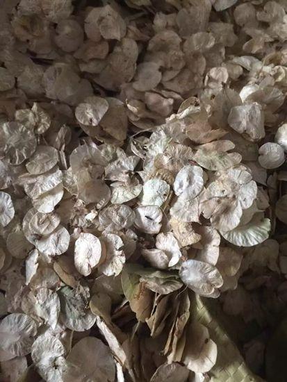 辽宁省白榆种子价格一览表