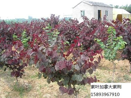 供应紫叶加拿大紫荆