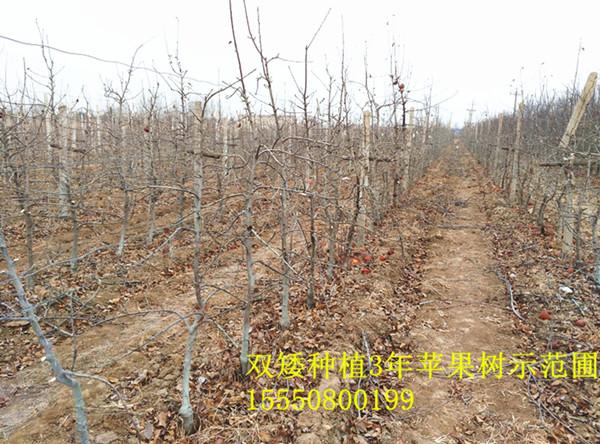 9337-苹果优良砧木供应矮化果树种苗