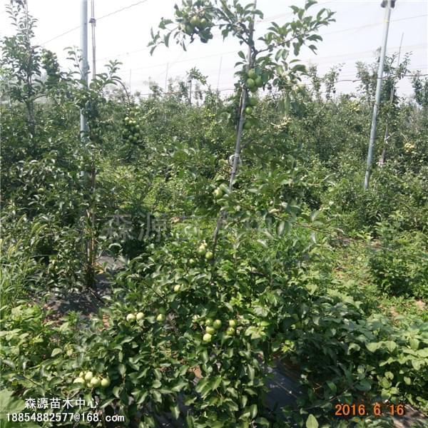 亩产上万的苹果树矮化果树种苗