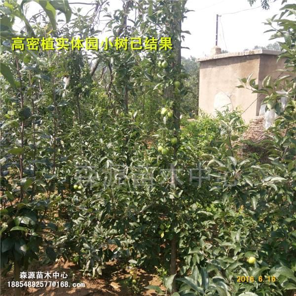 9337-矮化苹果苗繁育技术出售矮化果树种苗