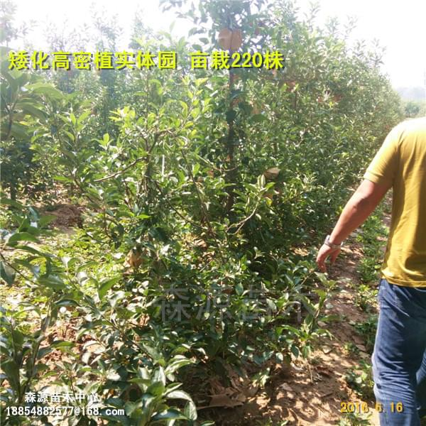 9337-矮化砧苹果苗惠林苗木供应矮化果树种苗