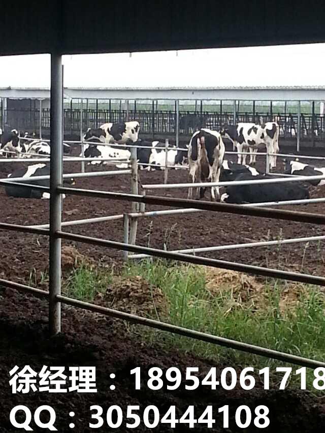 正规黑白花奶牛养殖场联系方式