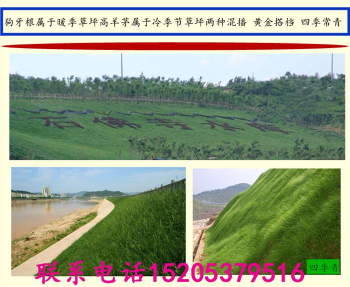 适宜北方种植的草坪草种山东燕兴种业