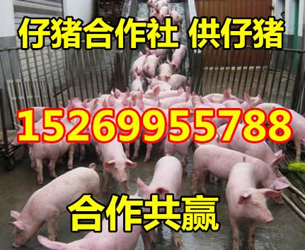 山东瘦肉型仔猪价格