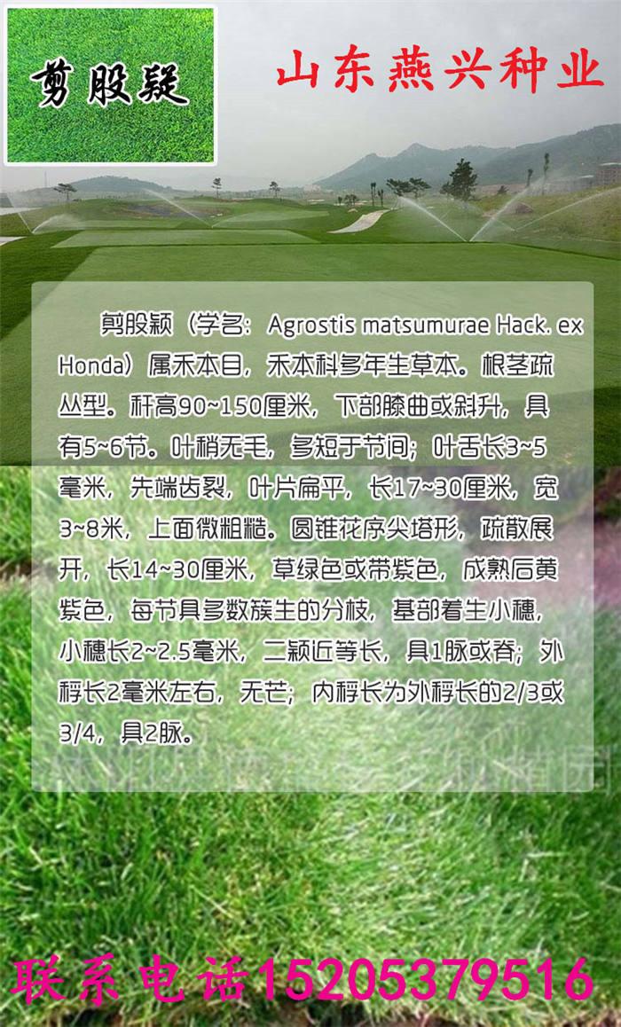 草坪草种的形态特征山东燕兴种业