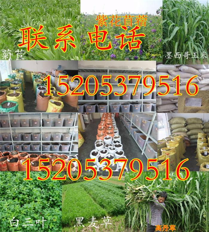 绿肥种子多少钱一公斤濮阳地区黑麦草