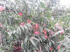 易成活的映霜红桃优选明建果树苗木、河南映霜红桃
