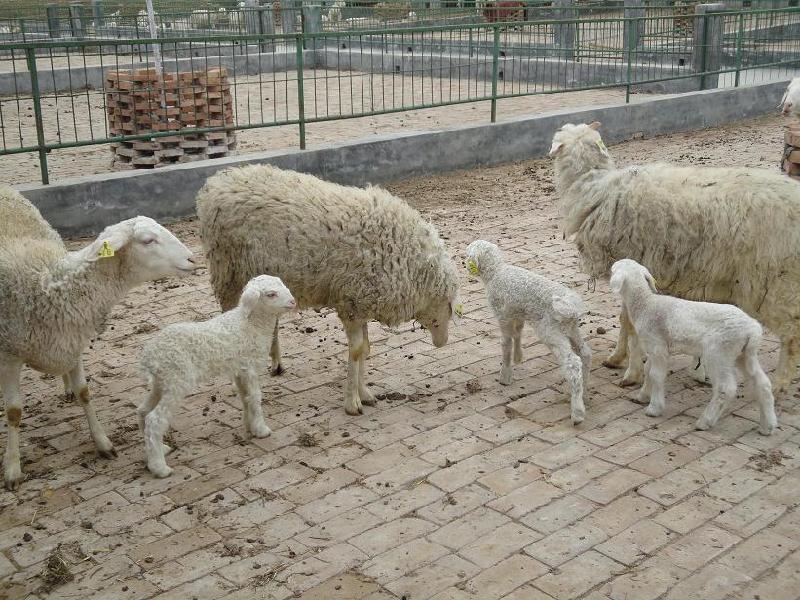 纯种小尾寒羊哪 里有