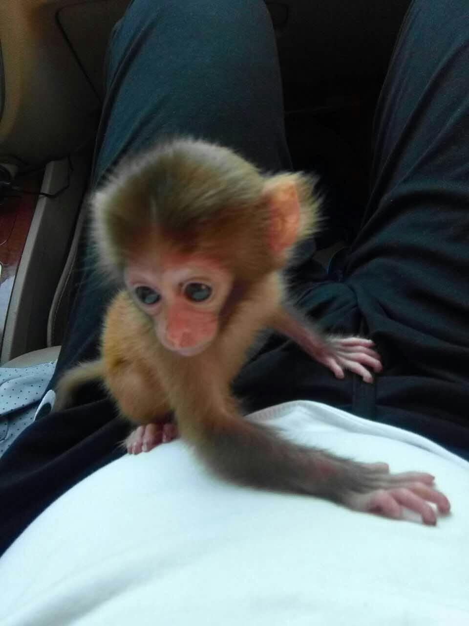 鞍山正宗长不大的小猴子多少钱一只