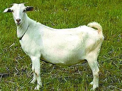 育肥白山羊多少钱一斤