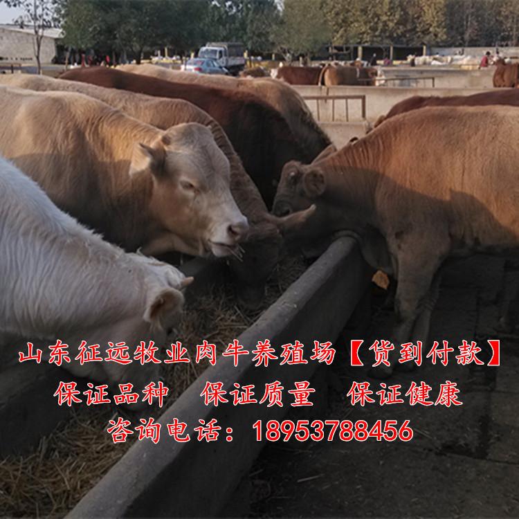 滦南县养牛场肉牛犊多少钱一头