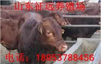 安化县夏洛莱牛犊多少钱一头