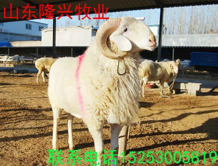 育肥小尾寒羊哪里有