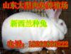囊谦县哪里出售公羊兔、在哪里能买到肉兔种兔