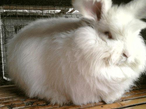 安多县家兔养殖技术家兔和品种兔究竟区别哪里9