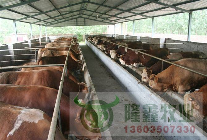 纯种西门塔尔牛长势快抗病力强 小牛犊价格 肉牛养殖技术