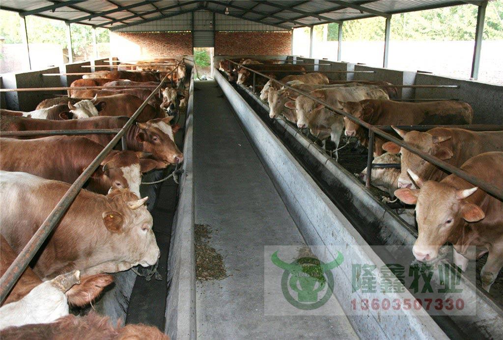 小肉牛犊价格 小牛犊价格 养殖肉牛犊 牛犊的价格