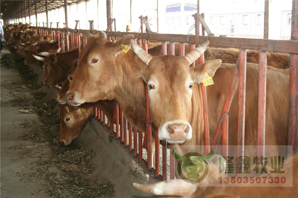 鲁西黄牛 肉牛 免运费全国包邮
