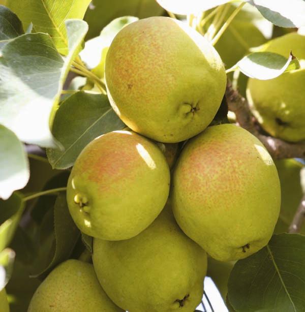 库尔勒香梨:   库尔勒香梨树冠高大,幼树直立,呈尖塔形,大树冠呈