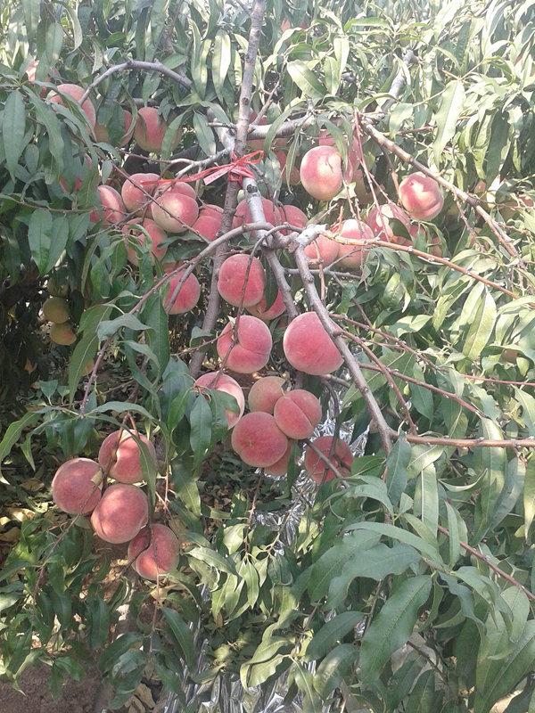 我司主营苗木品种有       桃树苗:晚熟映霜红桃,映雪红桃
