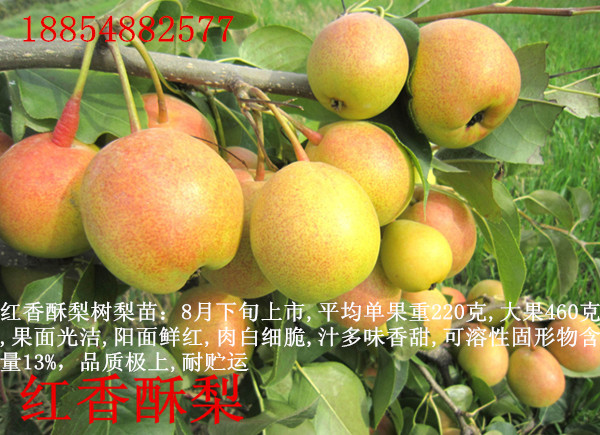 河池地区黄冠梨苗