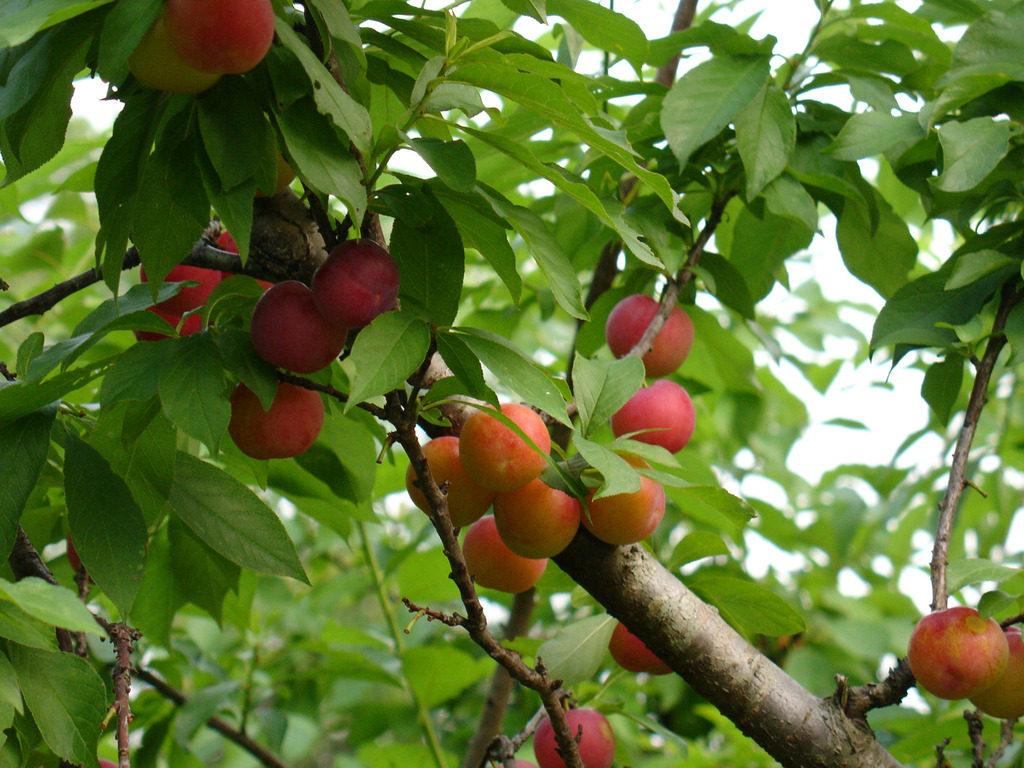 草莓苗,    苹果苗,    梨苗怎么样,    桃苗哪里有卖,    樱桃苗