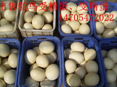 鸵鸟蛋黑天鹅蛋白孔雀蛋蓝孔雀蛋出售诚招代理_云南商机网tlc0055信息