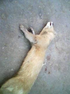 黄鼠狼幼崽三穗县黄鼠狼肉三穗县黄鼠狼