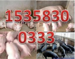 新宁县小猪苗供应销售电话15150748470