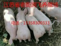 本溪崽猪养殖场电话15358300333