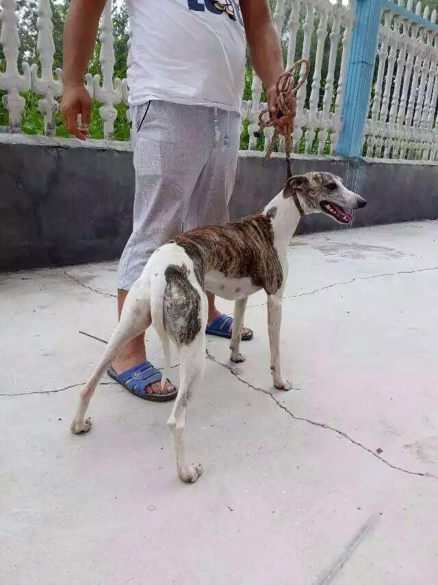 丽江地区三个月左右的小狼狗哪里有卖的昆明犬幼崽行情