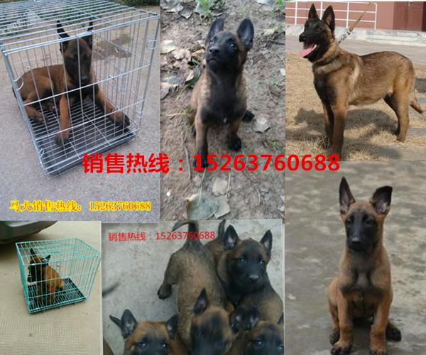 竹溪县哪里有卖纯种小狼狗的