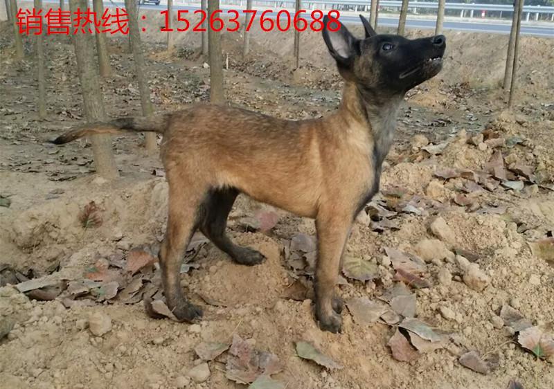 浙江北仑区哪里有卖狼青犬的、狼青犬幼崽多少钱一只