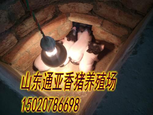 湘西州山东通亚香猪养殖场巴马香猪苗回收多少钱
